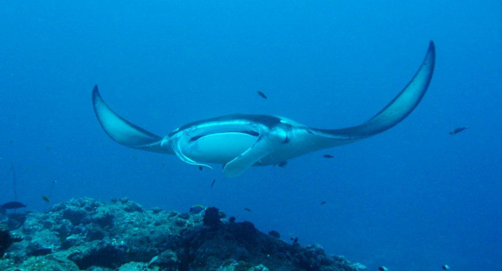 Viajar a Maldivas en agosto - Mantarrayas en Maldivas