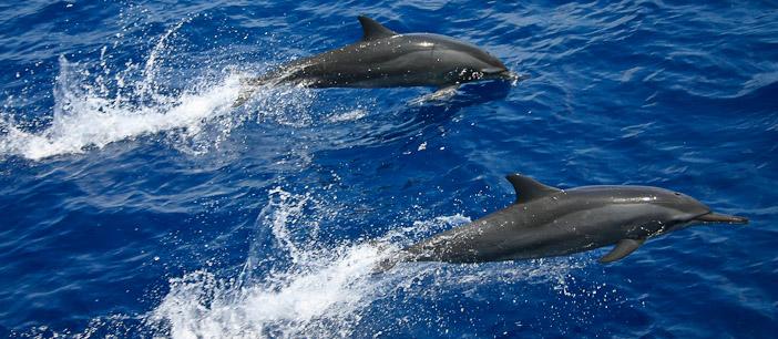 Delfines en Maldivas